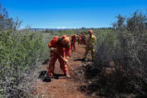 Conservation camp firefighters clear brush.