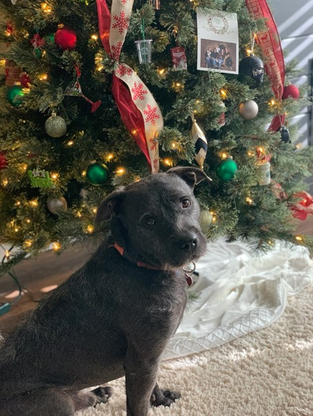 A foster dog sits in front of a Christmas tree.