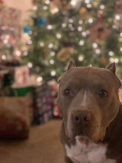 A dog sits in front of a Christmas tree.