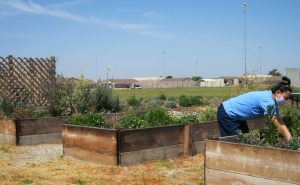 An inmate tends to a garden at CCWF.