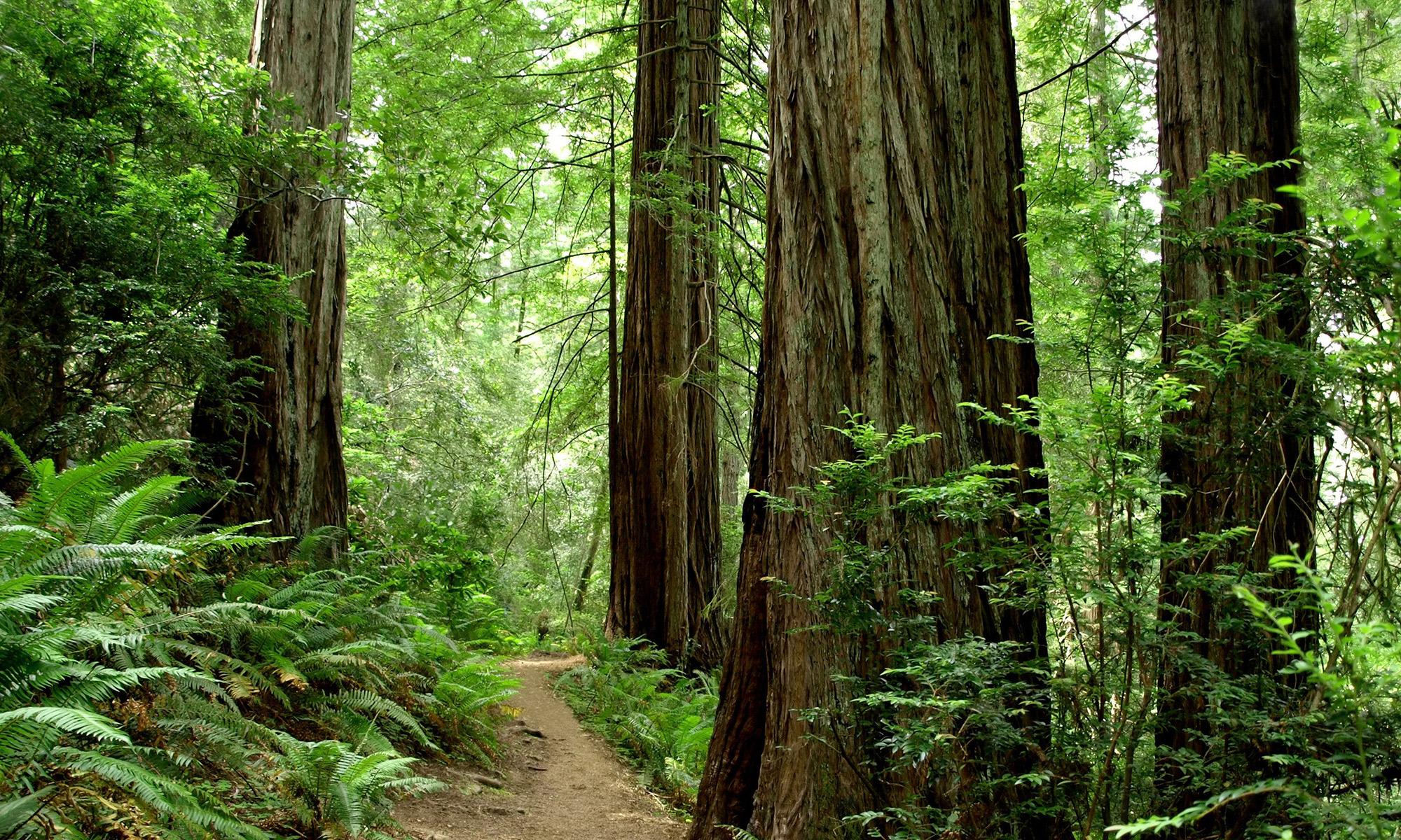 Picture of Jedediah Smith Redwoods